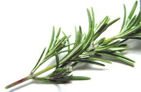 aylin guney, sebzeler, sifali bitkiler, Biberiye, Rosmarinus Officinalis, Biberiye Çayı